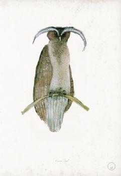 Crested Owl - artist signed print